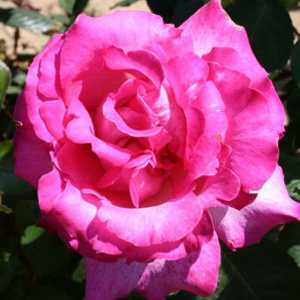 Rose Bush Hybrid Tea Prima Ballerina Bright Pink 3ltr