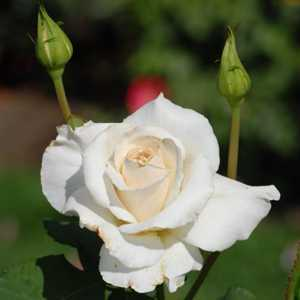 Rose Bush Hybrid Tea (Lenip) Pascali White 4Ltr