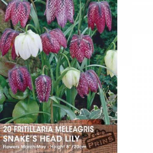 Fritillaria Meleagris Bulbs (Snakes Head Lily) 20 Per Pack