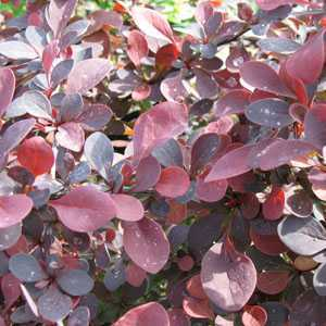 Berberis thunbergii Rose Glow Barberry Hedging