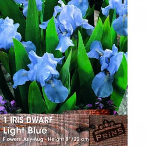 Iris Dutch Iris Bulbs Light Blue 20 Per Pack