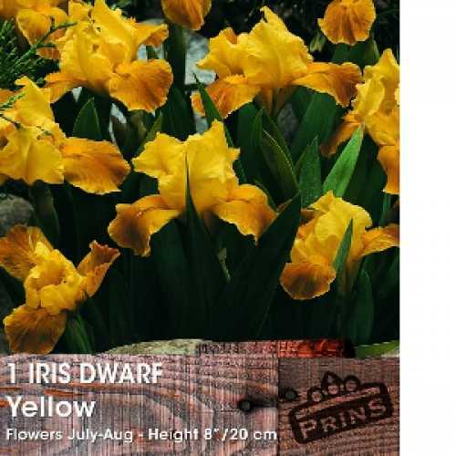 Iris Dwarf Danfordiae Bulbs Yellow Flower 20 Per Pack