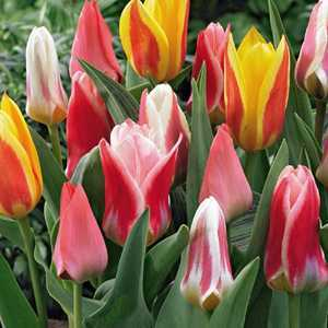 Tulip Bulbs Greigii Mixed 10 Per Pack