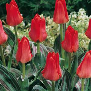Tulip Bulbs Greigii Red Riding Hood 10 Per Pack