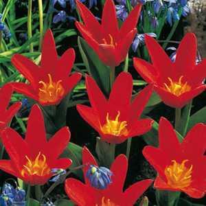 Tulip Bulbs Kaufmanniana Scarlet Baby 10 Per Pack
