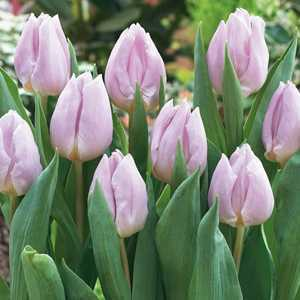 Tulip Bulbs Single Early Candy Prince 10 Per Pack