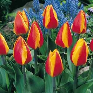 Tulip Bulbs Single Early Flair 10 Per Pack