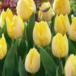 Tulip Bulbs Single Early Sunny Prince 10 Per Pack