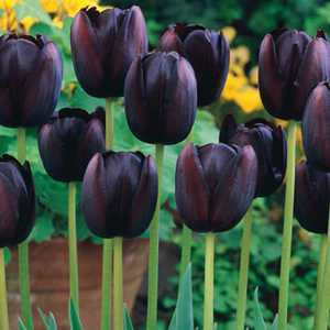 Tulip Bulbs Single Late Queen of Night 10 Per Pack