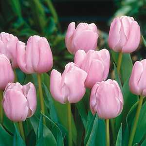 Tulip Bulbs Single Late Pink Diamond 10 Per Pack