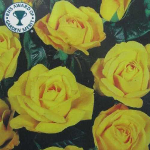 Arthur Bell Floribunda Rose