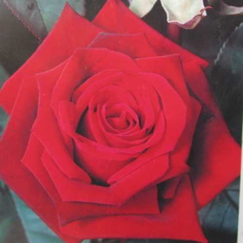 Deep Secret Hybrid Tea Rose