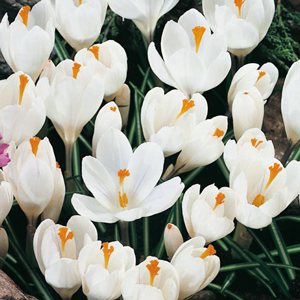 Crocus Vernus Bulbs White 20 Per Pack