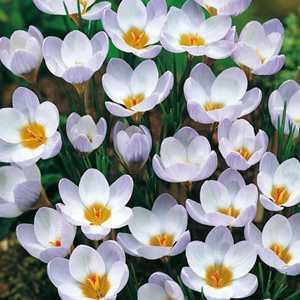 Crocus Bulbs Species Chrysanthus Blue Pearl 20 Per Pack