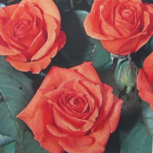 Doris Tysterman Hybrid Tea Rose