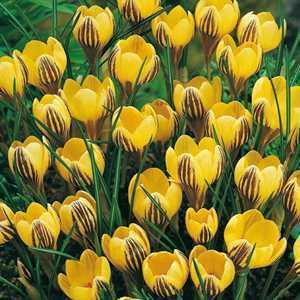 Crocus Bulbs Species Chrysanthus Gypsy Girl 20 Per Pack