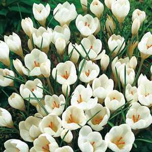 Crocus Bulbs Species Chrysanthus Miss Vain 20 Per Pack