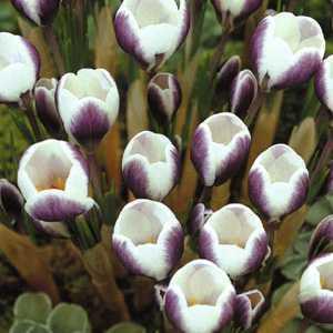 Crocus Bulbs Species Chrysanthus Prins Claus 20 Per Pack