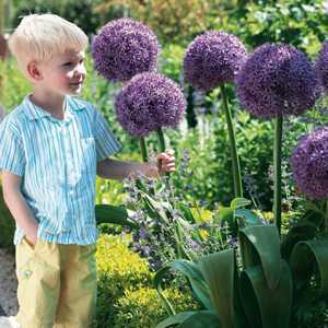 Allium Bulb Globemaster 1 Per Pack