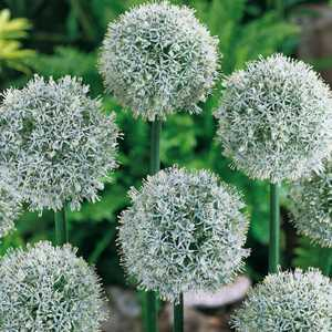 Allium Bulb Mount Everest 1 Per Pack
