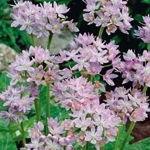 Allium Bulb Unifolium 20 Per Pack