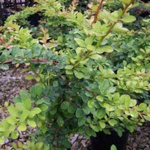 Berberis Thunbergii (Japanese Barberry) Hedging