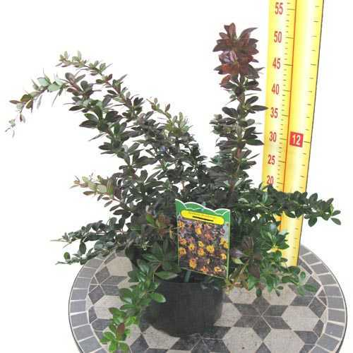 Berberis Thunbergii (Japanese Barberry) Hedging 3.5Ltr