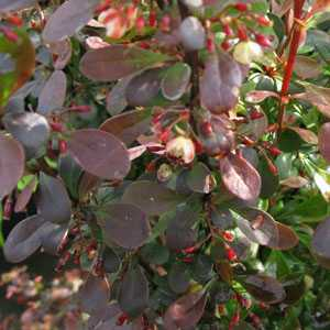 Berberis Rosy Rocket (Rose Raket) Barberry (Hedging)