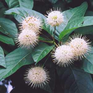 Cephalanthus Occidentalis (Button Bush) 10Ltr
