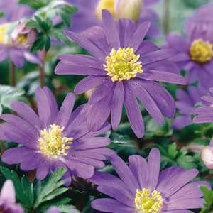 Anemone Bulbs Blanda Blue 10 Per Pack