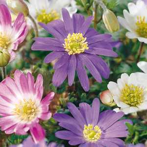 Anemone Bulbs Blanda Mixed 20 Per Pack