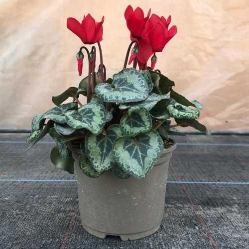 Cyclamen Winter Potted Mini (Red)
