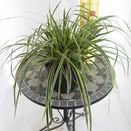 Carex Morrowii Fishers Form (Morrows Sedge)