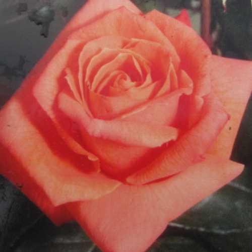 Lovers Meeting Hybrid Tea Rose