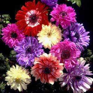 Anemone Bulbs Coronaria St Brigid 20 Per Pack
