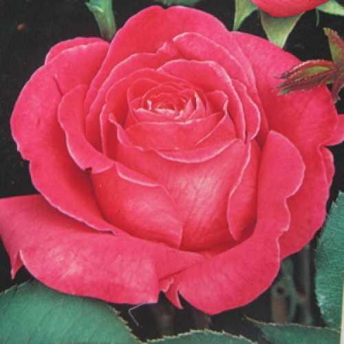 Pink Peace Hybrid Tea Rose
