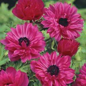 Anemone Bulbs Coronaria Admiral 20 Per Pack