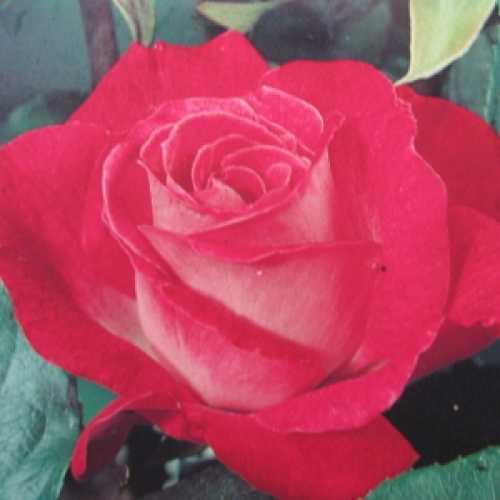 Rose Gaujard Hybrid Tea Rose