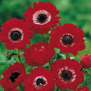 Anemone Bulbs Coronaria Governor 20 Per Pack