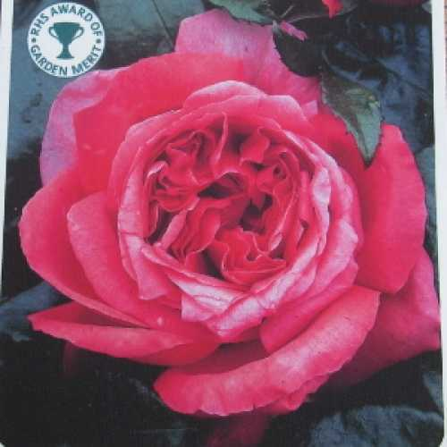 Special Anniversary 1/2 Standard Rose