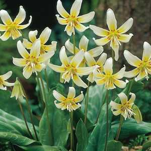 Buy erythronium white beauty bulbs online trout lily bulbs online erythronium white beauty trout lily bulbs pale yellow flower 2 per pack mightylinksfo Choice Image