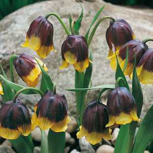 Fritillaria Michailowskyi Bulbs 5 Per Pack