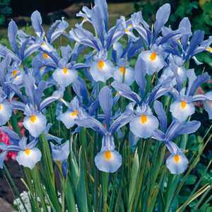 Iris Dutch Iris Bulbs Light Blue 20 Per Pack