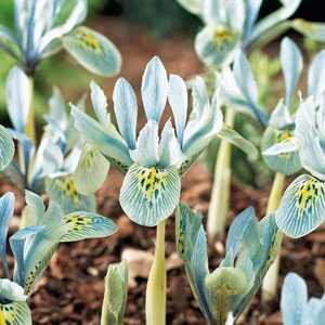 Iris Histrioides Katherine Hodgkin Bulbs 10 Per Pack