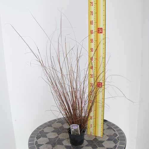 Carex Buchananii Leatherleaf Sedge
