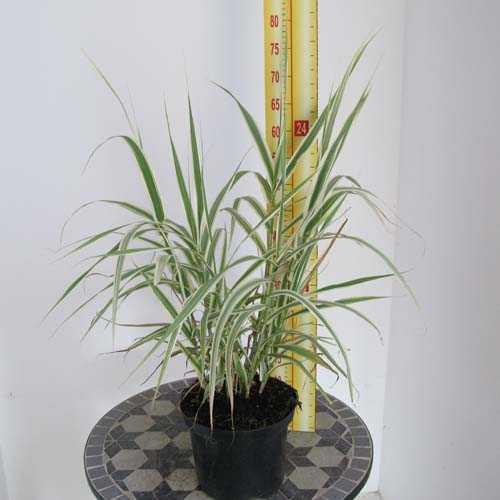 Arundo Donax Versicolor Bog Garden Giant Reed 3.5Ltr