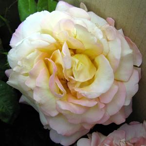 Rose Bush Peace Hybrid Tea (Yellow & Pink) 4Ltr