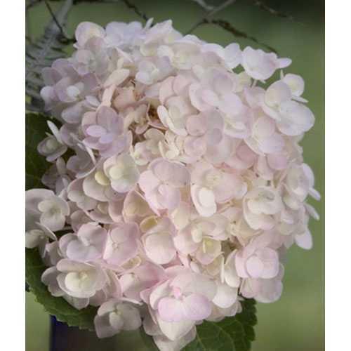 Hydrangea Macrophylla Endless Summer The Bride