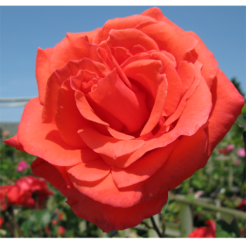 Rose Bush Congratulations Hybrid Tea 4Ltr