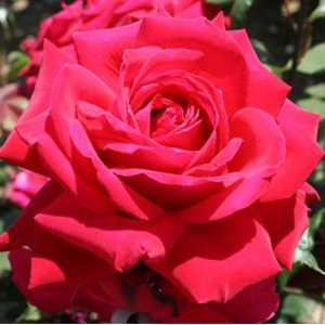 Rose Bush Deep Secret Hybrid Tea Red 4Ltr